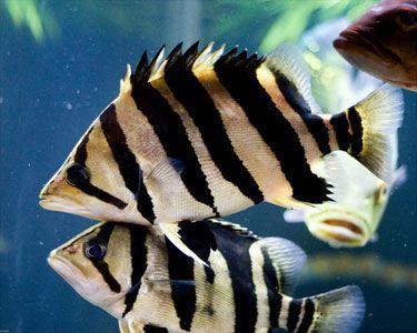 Indonesian Tigerfish,Coius microlepis (Datnoides Microlepis). Species Profile, Indonesian Tigerfish Care Instructions, Indonesian Tigerfish Feeding and more. :: Aquarium Domain.com