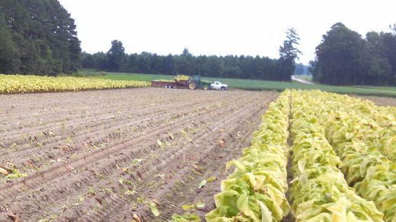 Loading tobacco trailer