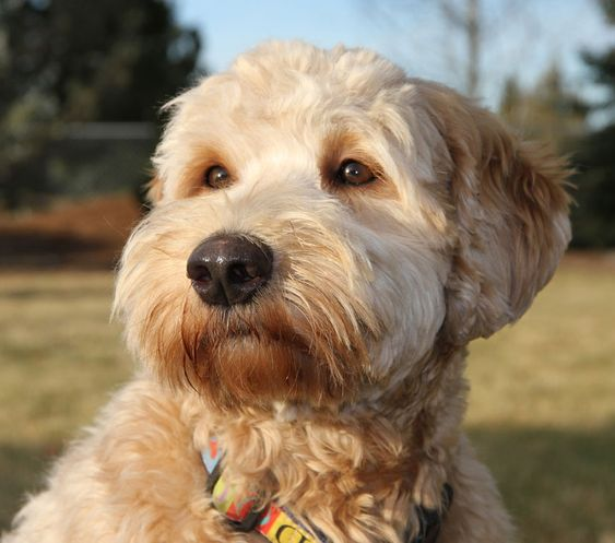 goldendoodle haircuts styles goldendoodle haircuts styles 25 best ideas about 1521