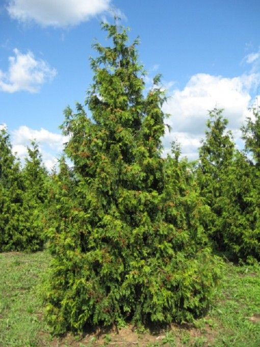 A medium evergreen and plant catalogs on pinterest for Small sized evergreen trees