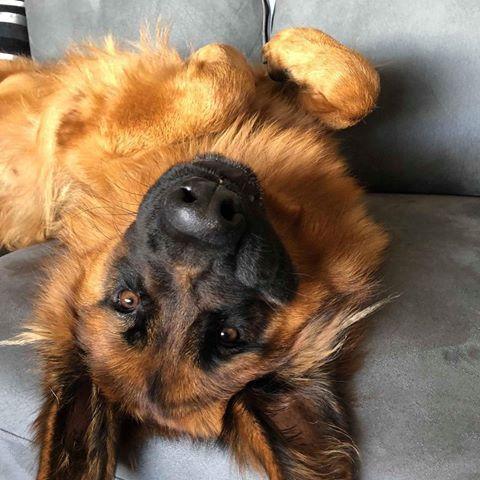 The Badger Snatcher Zeus Gshepherd Instagram Photos And Videos Saksanpaimenkoira Koira Paimenkoira