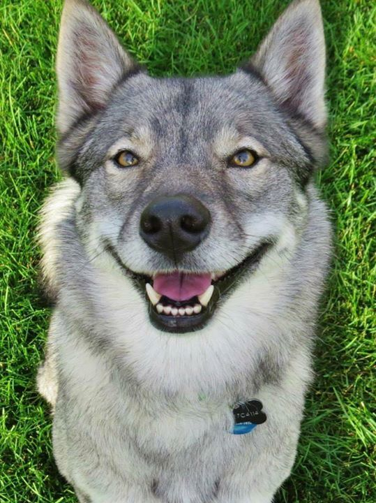 Norwegian Elkhound Mix