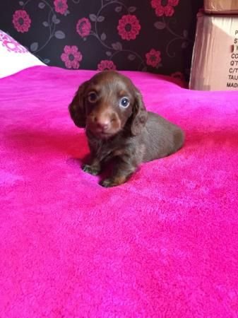 Miniature dachshunds smooth For Sale in Llanelli, Carms | Preloved