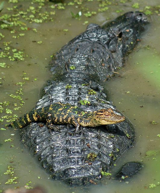 Baby Gator on Mama's Back: