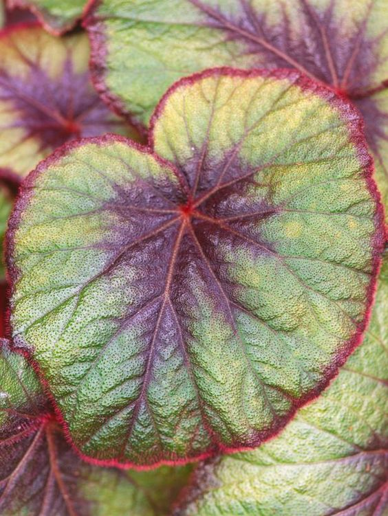 Begonia 'Bettina Rothschild':