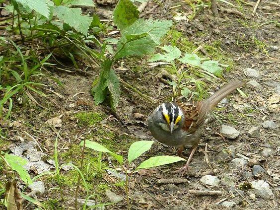 http://faaxaal.forumactif.com/t391-photo-d-oiseau-bruant-a-gorge-blanche-zonotrichia-albicollis-white-throated-sparrow