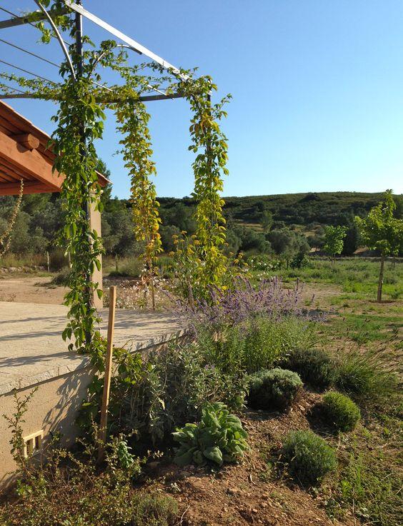 vignes vierges - treille - lavandes - bupleurum fruticosum - sauge sclarée - perovskia blue spire - été 2013