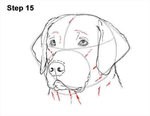 How To Draw A Labrador Retriever Head Video Step By Step