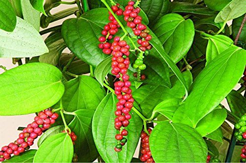 Amazon Com Black White Peppercorns Piper Nigrum For Growing
