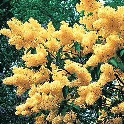 Primrose Lilac: