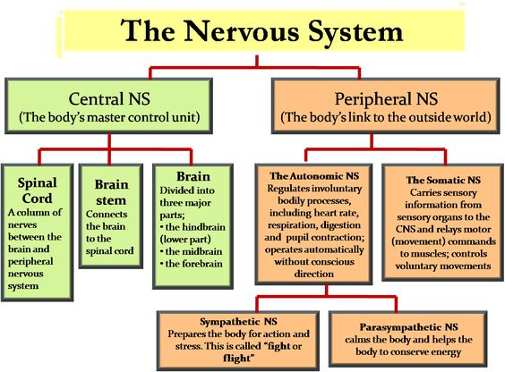 essay on human nervous system Free essay: the nervous system of the human body the nervous system of the  human body is responsible for sending, receiving and processing nerve.