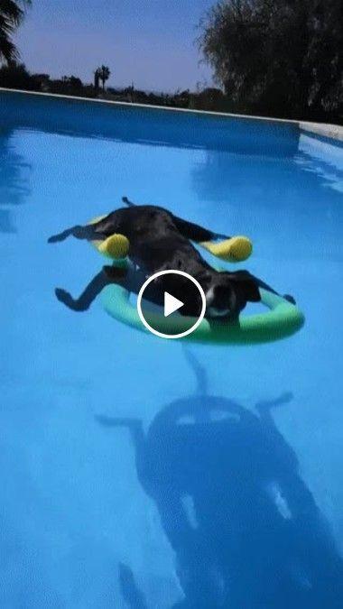 Cachorro está com muito calor e foi nadar