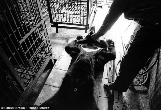 Chinese medicine: After being tranquilized, a bear is removed from its cage in a bear farm in Vietnam to have the bile removed from its gall...