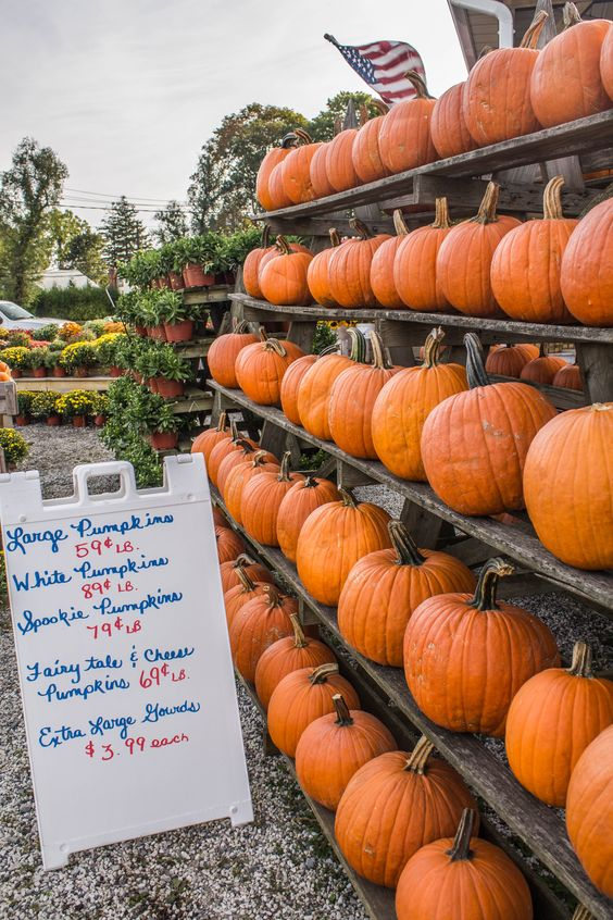 Picking a pumpkin made easy at Habers Farm Stand, Jamesport, Ny (09/26/2015)
