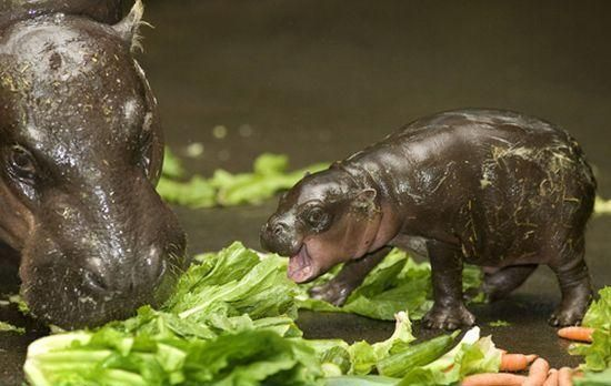baby hippos are the shiz: Cute Animal, Hungry Hippo, Baby Hippos, Baby Animals, Nom Nom, Pygmy Hippo, Adorable Animal