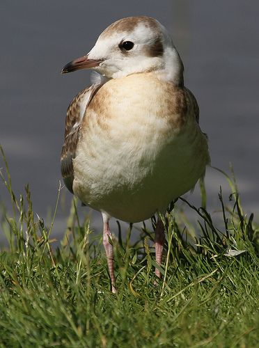 Juvenile Black-headed Gull (Larus ridibundus)