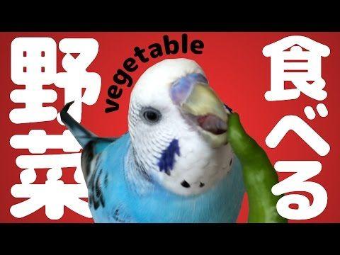 野菜も食べるよ セキセイインコ うめ Budgerigar Youtube セキセイインコ 野菜 ちゃん