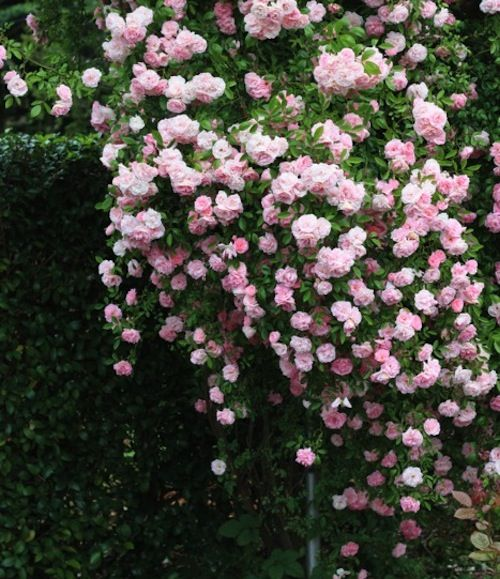 Pink, flowers, roses, leaves, foliage, garden, beautiful, garden, nature, plant