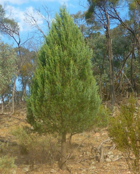 young cypress pines have a traditional christmas tree shape  they are native to western nsw  vic