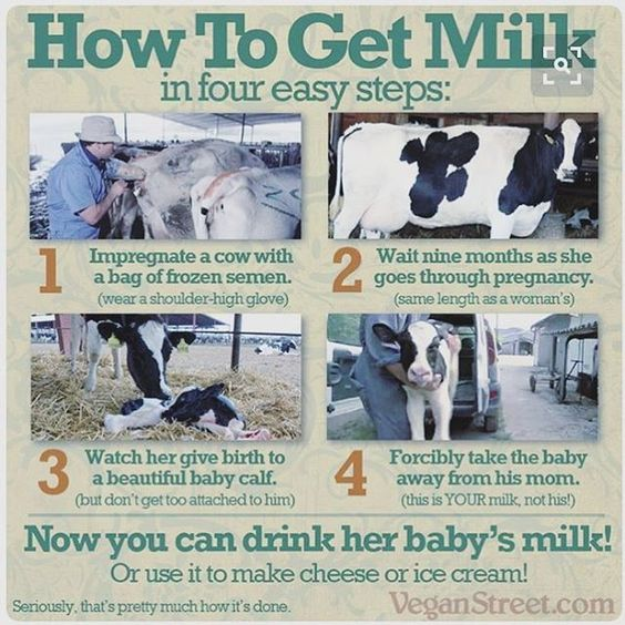 cruelty in action - dairy explained in four steps - why not try plant-based cruelty-free non-dairy alternates #vegan