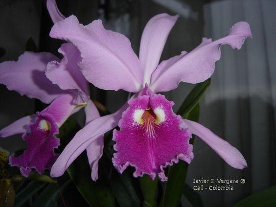 Orquideas Colombianas Imagenes