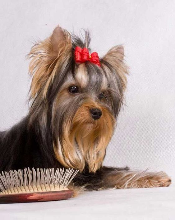 Dog Grooming Tips For New Dog Owners Dogtime Yorkshire Terrier Yorkshire Terrier Dog Yorkshire Terrier Puppies