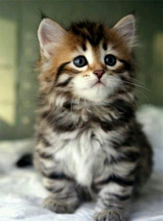 Cutest kitten EVER! | BuuuuTT It's sooo CUTE!! | Pinterest ...