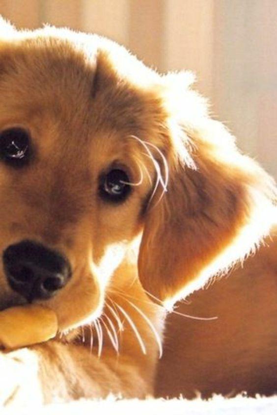 joli chien golden retriver, race de chien taille moyen beige