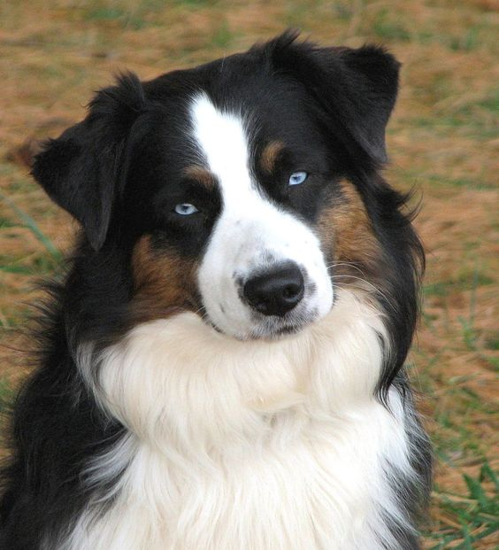 Australian Shepherd, black tri with blue eyes!!!
