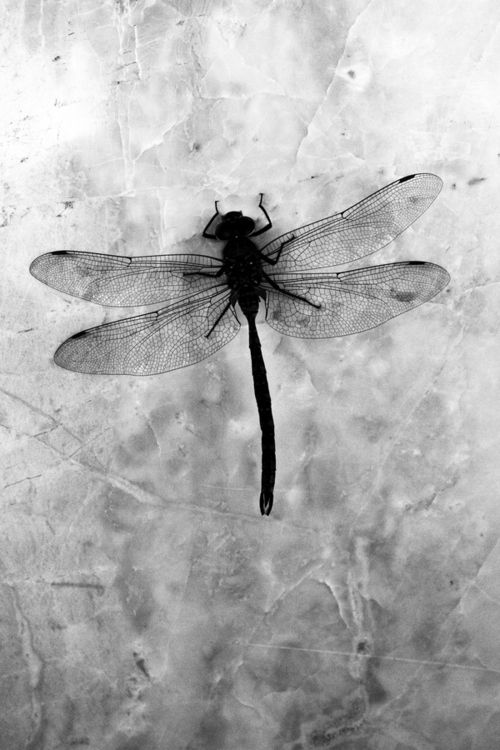 "myodos:    (via 500px / Photo ""Dragon fly "" by Christopher Beitz)"