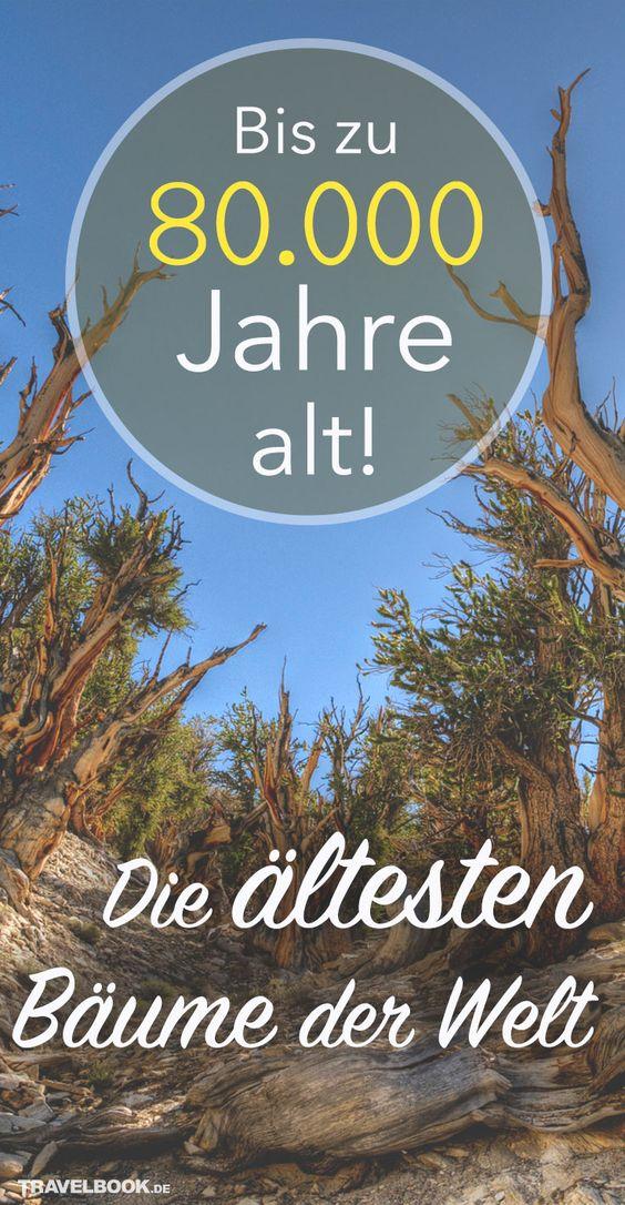 Der Titel Um Den Altesten Baum Der Welt Ist Umstritten Alte Baume Naturwunder Baum