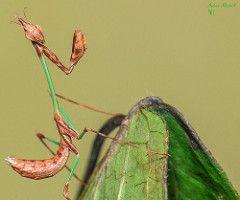Idolomorpha lateralis (Alien Head Mantis) (2nd instar)