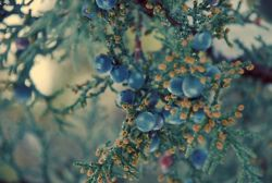 juniper berries by mrs. french on Flickr.