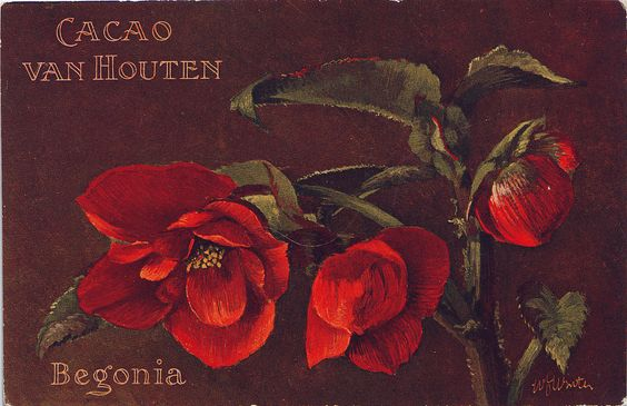 CACAO VAN HOUTEN BEGONIA | Flickr - Photo Sharing!