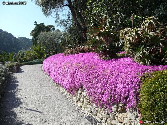 Overlooked in landscape architecture all the time.    Drosanthemum hispidum (Pink Ice Plant)