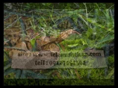 تشخيص مهره مار اصلی تست اصل بودن مهره مار روشهای تشخیص مهره مار اصل Plants