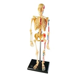Learning Resources Human Skeleton Model https://www.schooloutfitters.com/catalog/product_info/pfam_id/PFAM35623/products_id/PRO47229?sc_cid=Shopzilla_LEA-LER3337_6C15C=320012570000012221