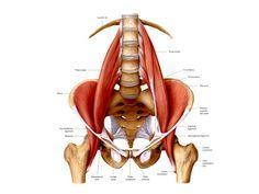 PSOAS, der Muskel der Seele - ein wertvoller Artikel für alle YogalehrerInnen und YogaschülerInnen – mein.yoga-vidya.de - Yoga Forum und Community