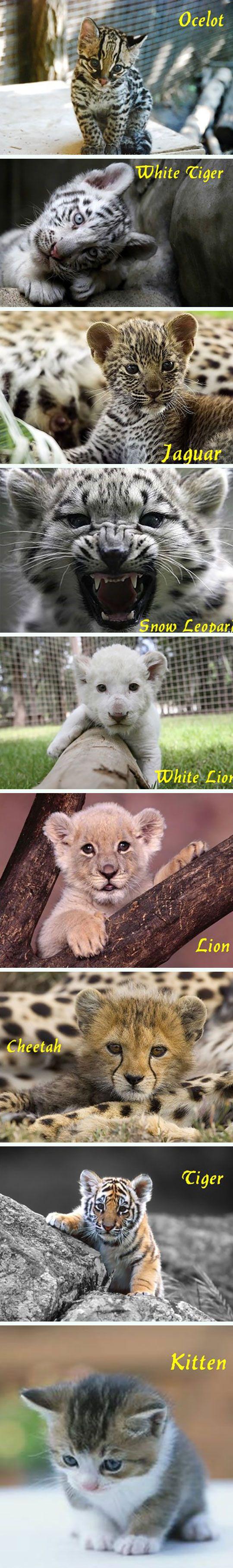 Feline Babies I want a kitten-love pile of ALL of them!  Behbee snow leopard is so fierce!!!!