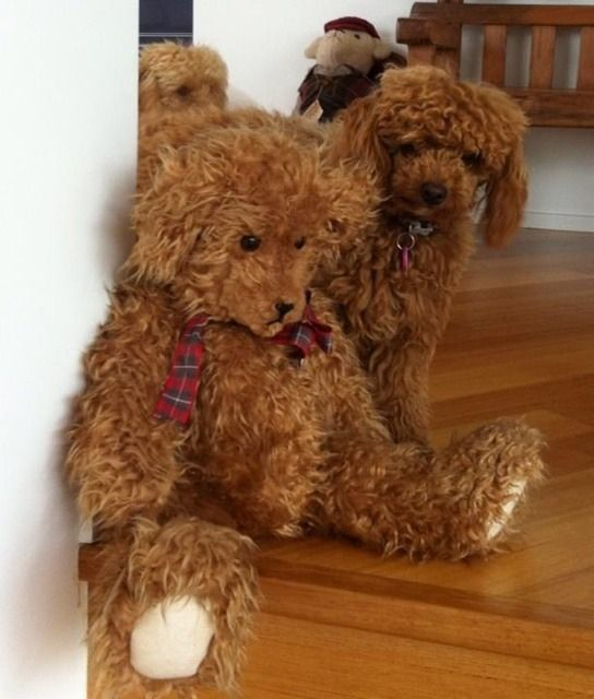caniche toy red - Google Search:
