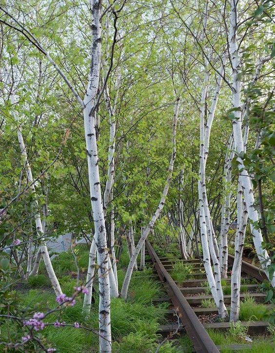 Landscaping With Paper Birch Trees : Elegant whitespire gray birch trees betula populifolia