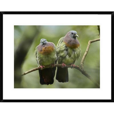 Global Gallery Necked Pigeon Pair, Jurong Bird Park, Singapore by Tim Fitzharris Framed Photographic Print Size: