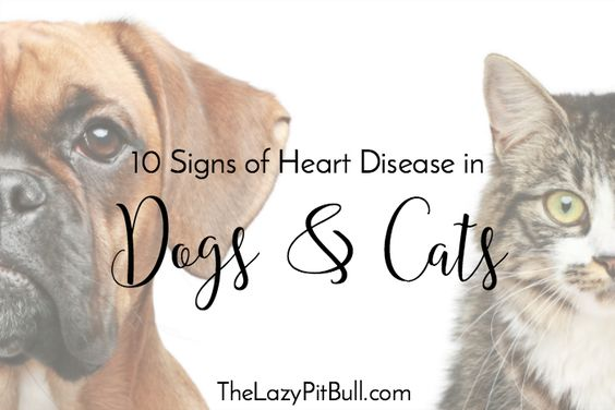 10 Signs of Heart Disease in Dogs and Cats   http://www.thelazypitbull.com/heart-disease-in-dogs-and-cats/
