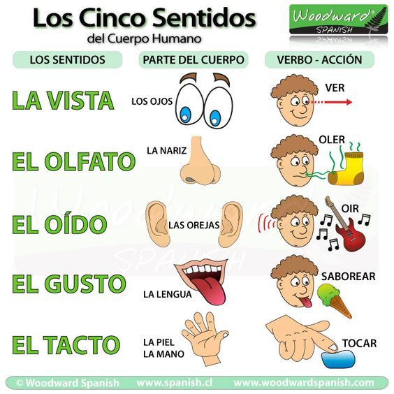 Spanish elementary science - Los cinco sentidos del cuerpo humano - la vista, el olfato, el oído, el gusto, el tacto.