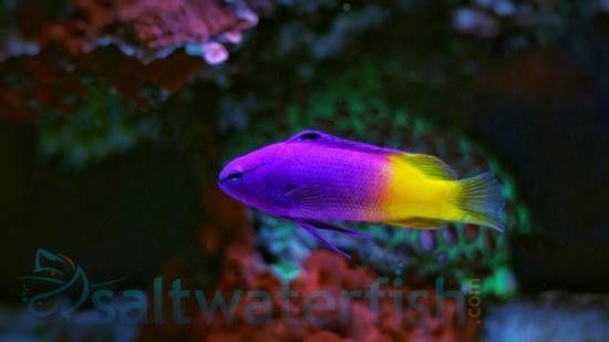Royal Gramma Saltwater Fish Basslets Coral Reef Aquarium Saltwater Beautiful Fish