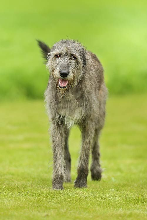 Irish Wolfhound Dog Breed Information Irish Dog Breeds Irish