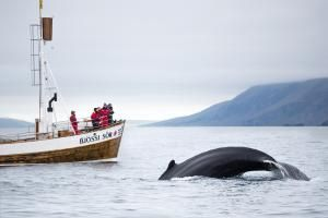 Whale watching, Husavik, Iceland - Tim E White/Getty Images