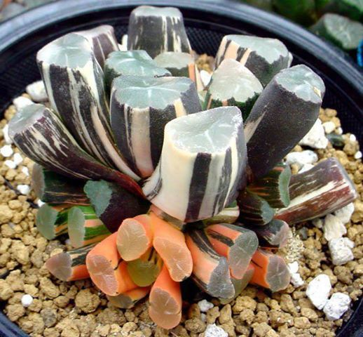 Haworthia variant. The Haworthias are just about the weirdest of all e succulents.: