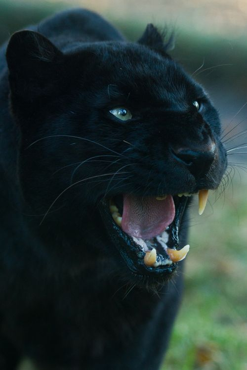 Black Panther Awesome