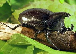 Rhino-Beetle on branch (Robin Powell 03/10/13)